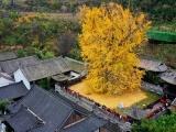 Китайское дерево Гинкго