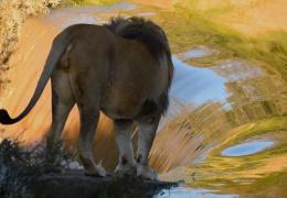 Неуклюжий лев упал в реку