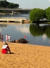 Фотоновость: в Нарве умер цирковой слон