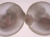 Ученые вырастили мышиный эмбрион в пробирке до появления сердцебиения