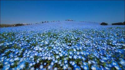 Миллионы голубых цветов расцвели в Хитачи-парке