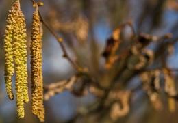 Предупреждение для аллергиков: весна наступила – в Эстонии цветет ольха