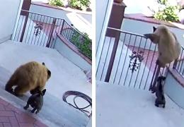 В Калифорнии маленький бульдог прогнал с участка хозяев семейство медведей.