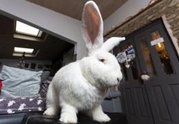 Джестер — гигантский 9-килограммовый кролик
