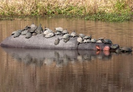 Красноухие черепахи отдыхают на спине огромного бегемота
