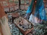 Женщина, проходившая мимо вертепа, обнаружила спящую в яслях собаку