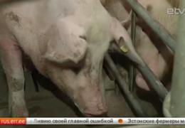 На эстонский рынок выходят европейские свиноводы, а цены на молоко вынуждают фермеров распродавать поголовье коров