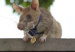 """Крысу удостоили медали за """"зверскую"""" храбрость при поиске мин"""