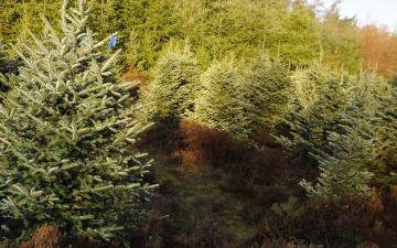 В государственном лесу в Виймси посадят 4000 елей