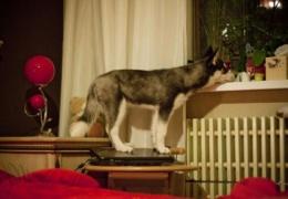 Собаки с ноутбуками (34 фото)