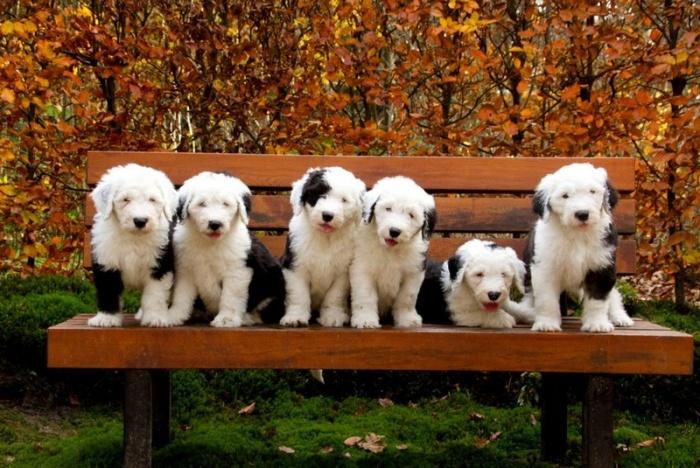 Шесть очаровательных щеночков бобтейла