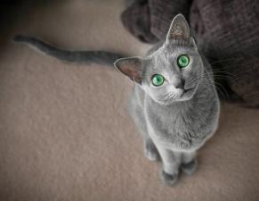 Две русские голубые кошечки очаровали интернет своей красотой