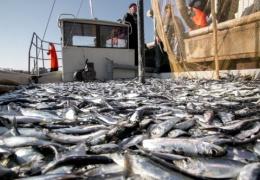 Ученые бьют тревогу: морская рыба привыкает питаться пластиком