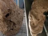 Китаец обнаружил в своем доме невероятно большое осиное гнездо
