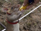 Крысы могут приносить пользу
