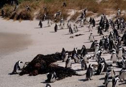 Птица с украденной камерой сняла колонию пингвинов