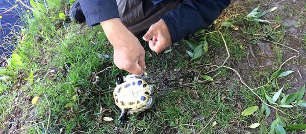 В нарвском пруду рыбак поймал черепаху