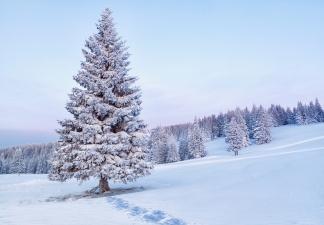 Найдите в лесу свою рождественскую ель!
