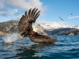 Удивительные кадры: белоголовый орлан на рыбалке