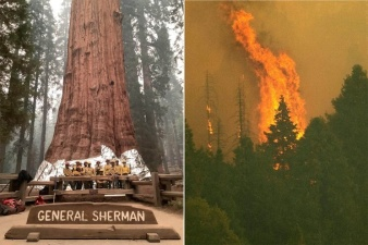 Крупнейшее в мире дерево, секвойя «генерал Шерман», может сгореть в лесном пожаре