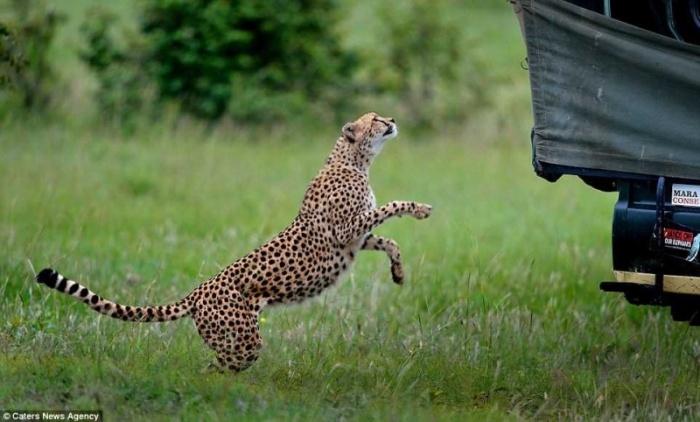 Неловкий момент: в джип запрыгнул гепард