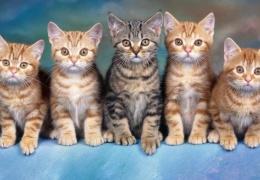 Китайцы смогли клонировать котёнка по заказу клиента