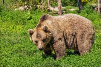 На кладбище Рауди гуляет не один медведь, а два