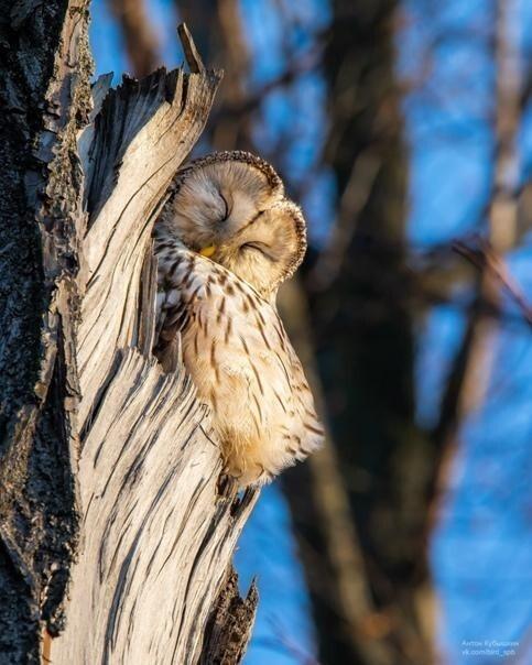 Петербуржцам показали потрясающие снимки спящей совы на Елагином острове