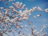 ФОТО: цветущая сакура не означает теплую погоду – в ближайшие дни возможен мокрый снег