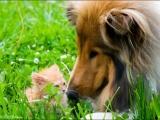 Встреча котенка и собаки
