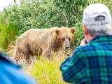 Бурые медведи ловят лосося на Аляске
