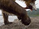 Бурые медведи на Камчатке