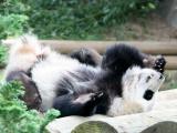 Панды - праздничные мишки:)