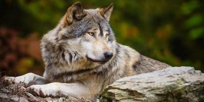 По стопам римлян и чеченцев: почему волк стал национальным животным Эстонии?