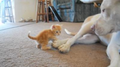 Маленький котенок подошел к большому бойцовскому псу и он начал его облизывать