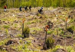 RMK планирует высадить почти 9 млн новых деревьев на Северо-Востоке