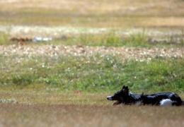В Норвегии от неизвестной болезни продолжают умирать собаки