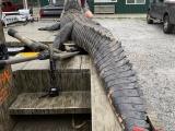 Охотникам удалось убить аллигатора весом 317,5 кг и длиной более 4 метров