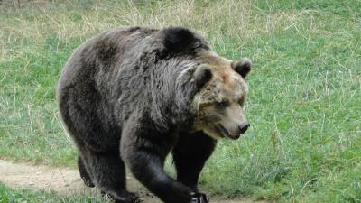Медведь повадился ходить на кладбище Рауди за едой