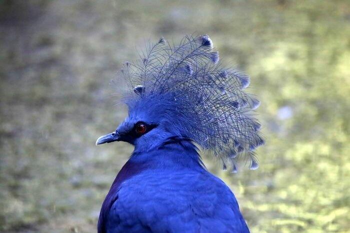 Голубь в короне - такого вы еще не видели!