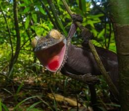 Веселый геккон, которого сложно найти