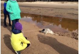 На пляж в Нарва-Йыэсуу выбросило детеныша занесенного в Красную книгу тюленя