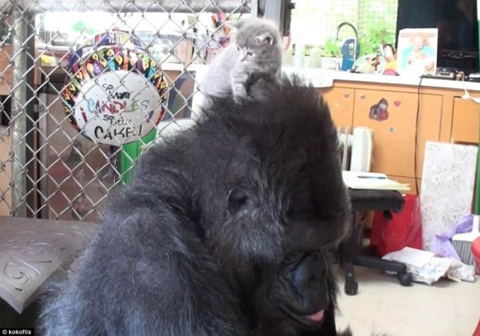 Горилла Коко заботится о котятах