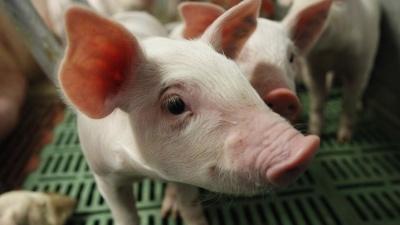 Ветеринарный департамент начал внеплановую проверку всех свиноферм в Эстонии