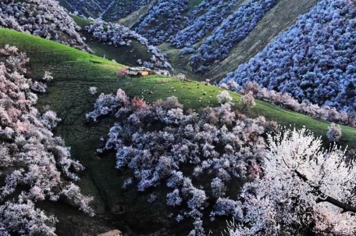 Потрясающие виды Китая в абрикосовом цвету
