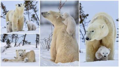 Белая медведица наслаждается солнечным днем с медвежатами