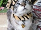 Спанглс - самый милый косоглазый кот в Интернете (6 фото)