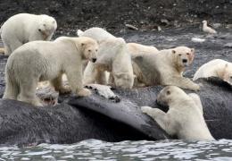 Не имея возможности ловить тюленей в тающих льдах, белые медведи едят трупы китов