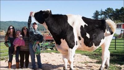 Дэнниел - самый высокий в мире бык