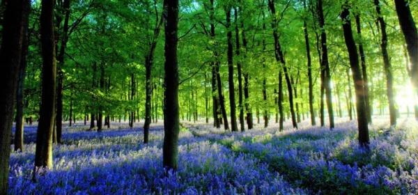 Весеннее цветение колокольчиков